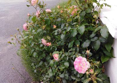 Jardin des Cultures - Roses